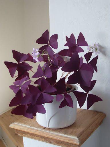 40 Best Purple House Plants,purple and green houseplant,purple heart houseplant,houseplant with green leaves and purple underside