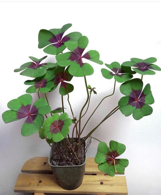 40 Best Purple House Plants,purple and green houseplant,purple heart houseplant,houseplant with green leaves and purple underside